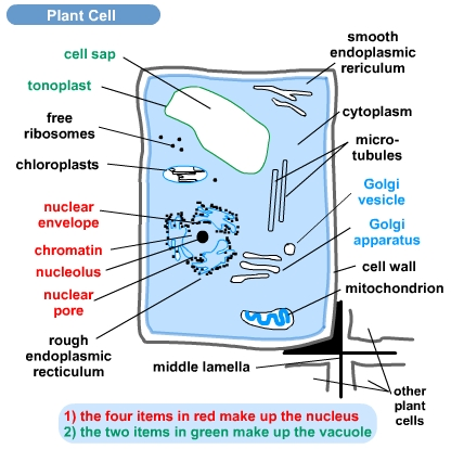 plant cell and animal cell pictures. plant cell vs animal cell
