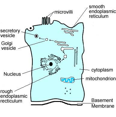 animal cell and its functions. epithelial cell from the