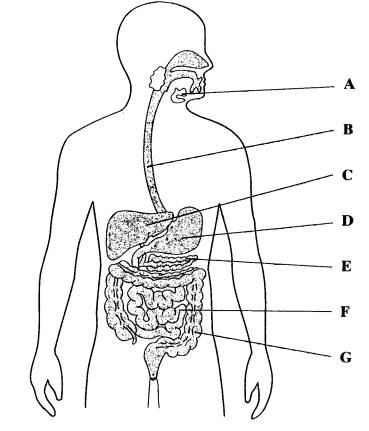 also B77 6 in addition Earthworm dissection likewise Sistema Digestivo Dibujo additionally Circulatory System  ic Strip. on digestive system back