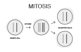 mitosis diagram
